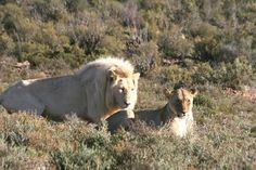 Safari von Kapstadt aus: White Lion Lodge an der Route 62 im Sanbona Nature Reserve bietet Gästen aus Kapstadt eine einmalige Gelegenheit weisse Löwen hautnah zu erleben. My Dream, South Africa, Safari, Lion, African, Horses, Explore, World, Animals