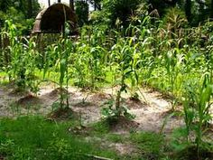 Planting the Three Sisters on mounds Potager Garden, Permaculture Garden, Gardening, Design Jardin, Forest Garden, Three Sisters, Plantation, Planters, Pictures