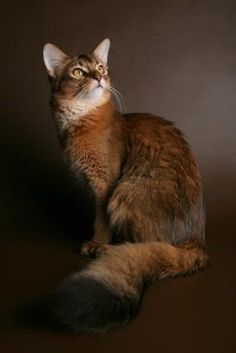 Abyssinian cat northern ireland