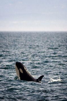 #orca killer #whale