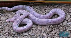 The fact that purple snakes exist just made my day