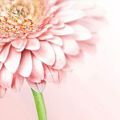 gerbera blush pink