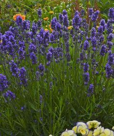 Klehm's Song Sparrow Farm and Nursery--Sun Perennials--Lavandula angustifolia 'Sweet Romance® ('Kerlavangema') Lavender Seeds, Growing Lavender, Lavender Blue, Lavender Flowers, Purple Flowers, Landscape Design, Garden Design, Deer Resistant Perennials, Rabbit Resistant Plants