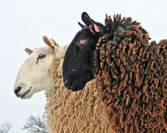 1.Border Leicester Sheep (Ovis aries) 2.Moroccan rug