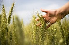 Does the future of wheat include a version that will be safefor folks with celiac disease? Researchers at the Kansas Wheat Commission arehard at work to determine the possibilities. Find out if. Marketing Information, Make Business, Celiac Disease, Free Food, Agriculture, Kansas, Liberty, Globe, Grains