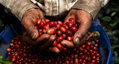 """Nadie está tranquilo seguro de cuando el café comenzó en Columbia, se rumorea que se inició en el siglo XVII por un sacerdote. """"Pero el primer envío de café en el extranjero no fue hasta 1835, cuando 2500 libras de café se dirigió de Colombia a los Estados Unidos"""". Columbia es el segundo lugar en lo que se refiere al café, Brasil es el número uno, pero recientemente Vietnam ha sido la competencia Debido a su creciente producción de cafés robusta. Columbia también tiene 500.000 granjas."""