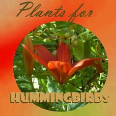Plants for Hummingbirds - plant some, and see the flying jewels flock to your garden... Gardening | Flowers