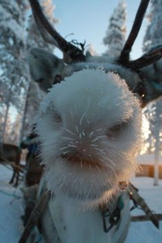 Un renne en Laponie. A Renne is a reindeer or caribou. Laponie is Lapland, Sweden. Animals And Pets, Funny Animals, Cute Animals, Beautiful Creatures, Animals Beautiful, Photo Animaliere, Tier Fotos, Mundo Animal, Humorous Animals