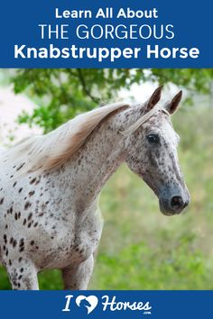 Most of us know the Knabstrupper horse because of its fully spotted leopard coat. Check out these 5 fun facts about this horse with a coat of many colors. What other facts do you know about the Knabstrupper horse breed? | #ihearthorses #horsebreeds #horsefacts #eqlife #horselife