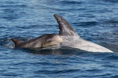 Risso's Dolphin | Grampus griseus Monterey Bay, California by Tory Kallman on Flickr. Brand new little calf, with fetal folds!  #dolphins #baby #cetacean