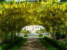 Walk through the world famous Laburnum Archway in Bodnant Gardens in #Wales #UK #Tunnel #Travel