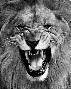 Lion Images, Lion Pictures, Majestic Animals, Animals Beautiful, Roaring Lion Tattoo, Black And White Lion, Lion Tattoo Sleeves, Lion Photography, Lion Head Tattoos