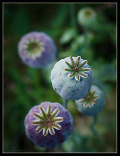 Poppy Pods