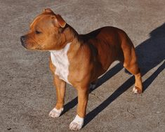 Animals And Pets, Funny Animals, Cute Animals, Staff Bull Terrier, Bull Terriers, American Staffordshire Bull Terrier, Stafford Terrier, Cute Pitbulls, Pitbull Boxer