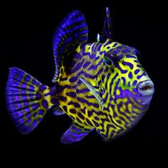 "Beauty... Juvenile Triggerfish... ""African Pseudobalistes fuscus"" was tagged already, i would have say juv blue trigger, or yellow.."