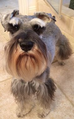 Little mini schnauzer's are so curious, this is Zackary and he is wondering what I'm pointing at him. I got a new phone cover and he has never seen it before❤️