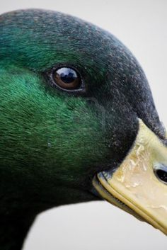 Louisiana Duck Hunting, Duck Mount, Bird Attack, Duck Crafts, Duck Pictures, Pet Ducks, Decoy Carving, Ducks Unlimited, Duck Decoys
