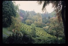 Here's our maze at Glendurgan in 1968 - much more grown in and the hedges looking a lot less slim than they do now.