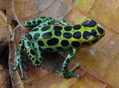 This frog is called ranitomeya variabilis. All I know is I like the spots and someone did a very good job composing the shot.