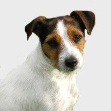 El Jack Russell Terrier | Perros.com