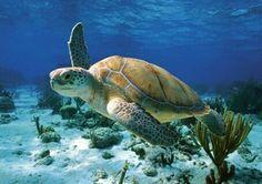 GO SEA TURTLES!