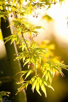 'Ryu sei' Japanese maple: stunning weeping Japanese maple with beautiful foliage colors all year and striking spring blossoms. Green Japanese Maple, Acer Palmatum, Spring Blossom, Leaf Shapes, Science Nature, Blossoms, Leaves, Landscape, Colors