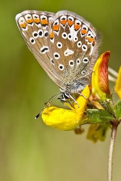 The Common Blue (Polyommatus icarus)