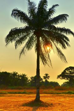 Sunlight streaming through a palm tree, in Point Noire, The Congo