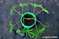 """Set up your main-lining """"hub"""" in the vegetative stage, then just lay back and let your plant do her thing. Source: http://www.growweedeasy.com/main-lining-technique-nugbuckets"""