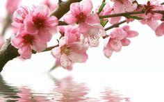 ветка, цветы, розовые, сакура, Весна, вода, отражение