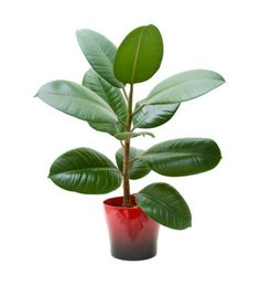 How to Grow a Rubber Tree. The rubber tree or plant (Ficus elastica decora) is a favorite houseplant with large, thick, glossy green leaves. Rubber trees will grow well in most homes with just a little care, but they can get fairly large. Ficus Elastica, Best Plants For Bedroom, Bedroom Plants, Rubber Tree Houseplant, Rubber Plant Care, Trees To Plant, Plant Leaves, Tropical House Plants, Plant Information