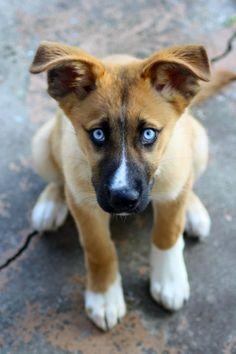 German Shepherd Husky Mix Puppies Pictures