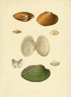The Biodiversity Heritage Library works collaboratively to make biodiversity literature openly available to the world as part of a global biodiversity community. Pearls, Zoology, Anatomy, Beads, Beading, Pearl, Pearl Beads, Gemstones