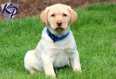 Junior – Labrador Retriever – Yellow Puppies for Sale in PA   Keystone Puppies