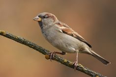 Wróbel Bird Watching, Birds, Pictures, Animals, Sparrows, Photos, Animales, Animaux, Bird