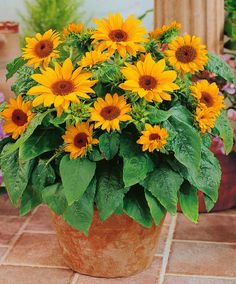 Pacino Sunflower in terracotta pot. Container Flowers, Flower Pots, Plants, Lawn And Garden, Sunflower, Flowers Feed, Potted Sunflowers, Flowers, Colorful Garden