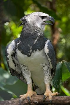 Harpy eagle- magnificent