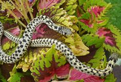 Checkered Garter Snake