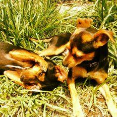 Eddie & Gladstone #dogs #doberman