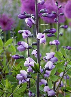BAPTISIA x \'Purple Smoke\' - Lupin indigo - False Indigo