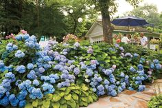 Secrets to the Longest Lasting Hydrangeas