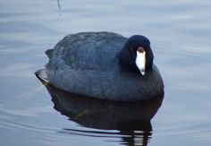 American Coot at Rithet's Bog. Photo by Mark Byrne