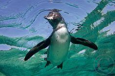 Swimming Penguin by Josh Anon