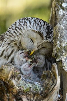 us の nature of mom maternity to feed kid's first oiseau de proie rapace bird of prey owl chouette hibou pajaro uccello Baby Owls, Cute Baby Animals, Animals And Pets, Owl Babies, Animals With Their Babies, Beautiful Owl, Animals Beautiful, Beautiful Family, Photo Animaliere