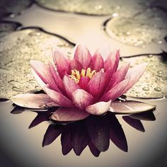 Lotus- symbol of perseverence because it grows up out of the mud and water to reach the sun and bloom