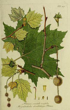 Sycamore tree leaf