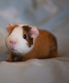 Baby Guinea Pigs! Too cute!