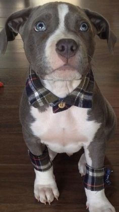 Pit Bull Terrier American This pit bull puppy has flannel accessories. He wins all the things. Shih Tzu, Cute Puppies, Cute Dogs, Dogs And Puppies, Doggies, Fluffy Animals, Cute Animals, Dogs Tumblr, Dog Costumes