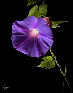 Morning Glory by Endre Balogh - Morning Glory Photograph - Morning Glory Fine Art Prints and Posters for Sale