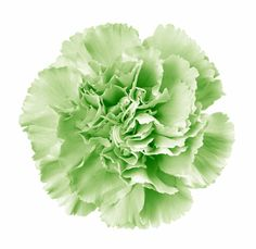 Green Carnations Select